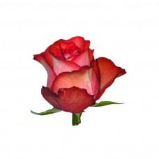 roza-iguana