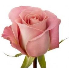 roza-germoza-hermosa