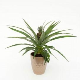 Как ухаживать за ананасом в домашних условиях 25